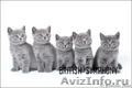 Голубые и лиловые британские котята, кошечки для души и разведения., Объявление #144498