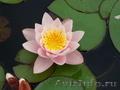 Водная лилия(нимфея) розовая