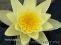 Водная лилия(нимфея) желтая