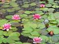 Водная лилия(нимфея) красная