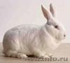 Кролики калифорнийские и новозеландские